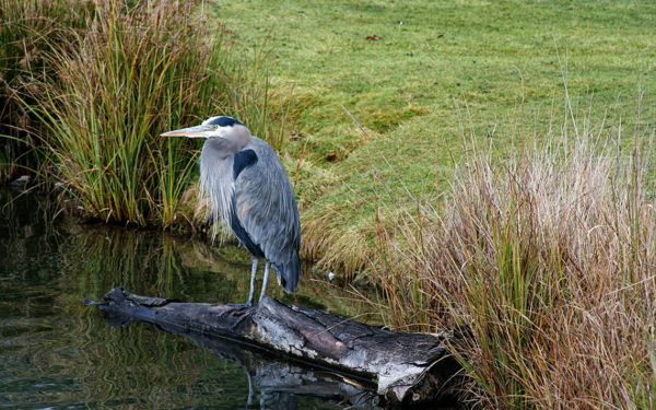 Blue Heron sitting on a log